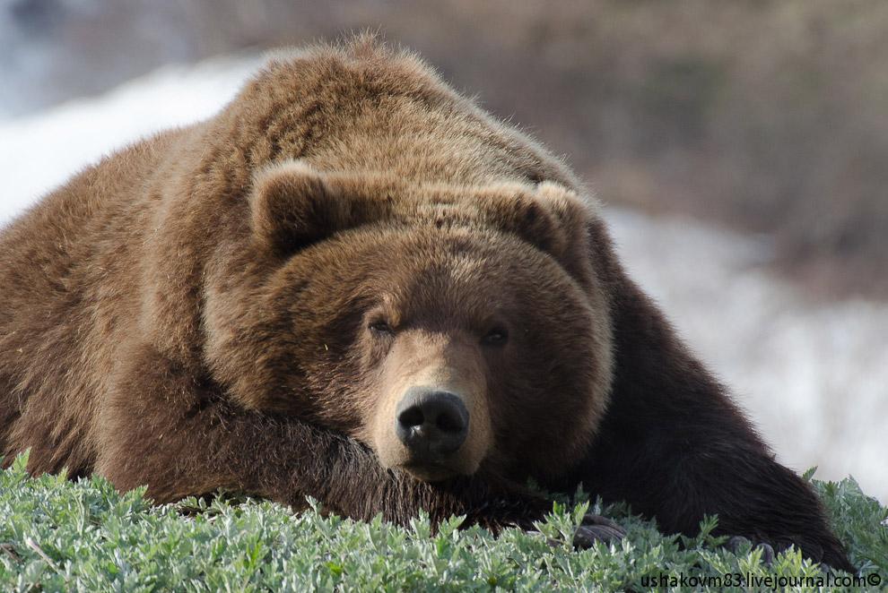 Медведь в Долине гейзеров