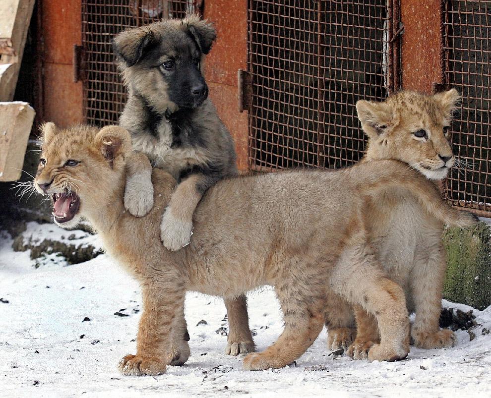Два львенка и собака во дворе дома в Харькове