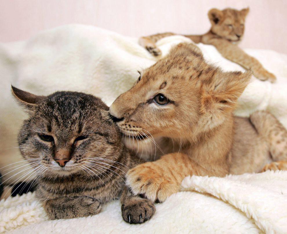 Львенок и кошка