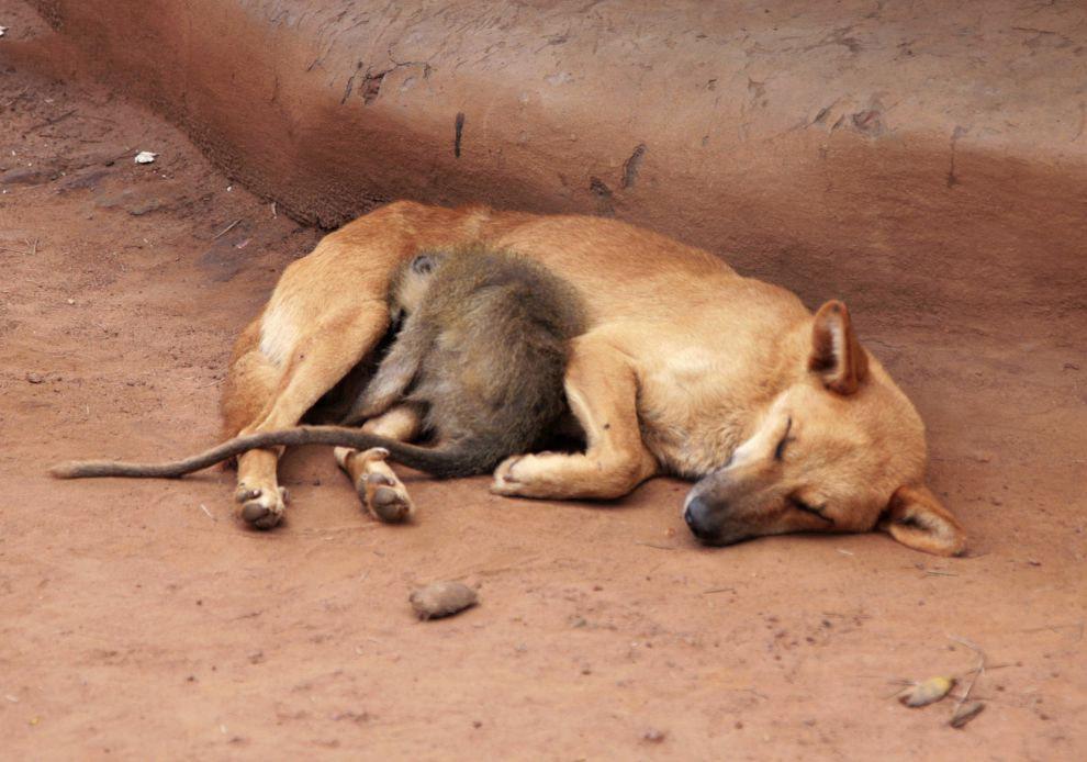 Обезьяна спит рядом с собакой
