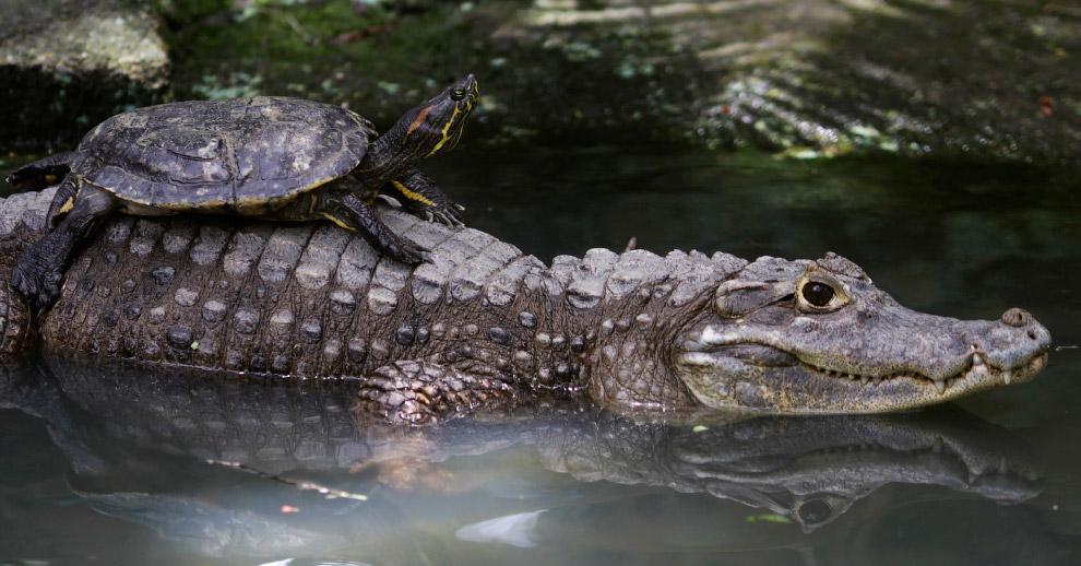 Крокодил-такси в зоопарке в Панама-Сити
