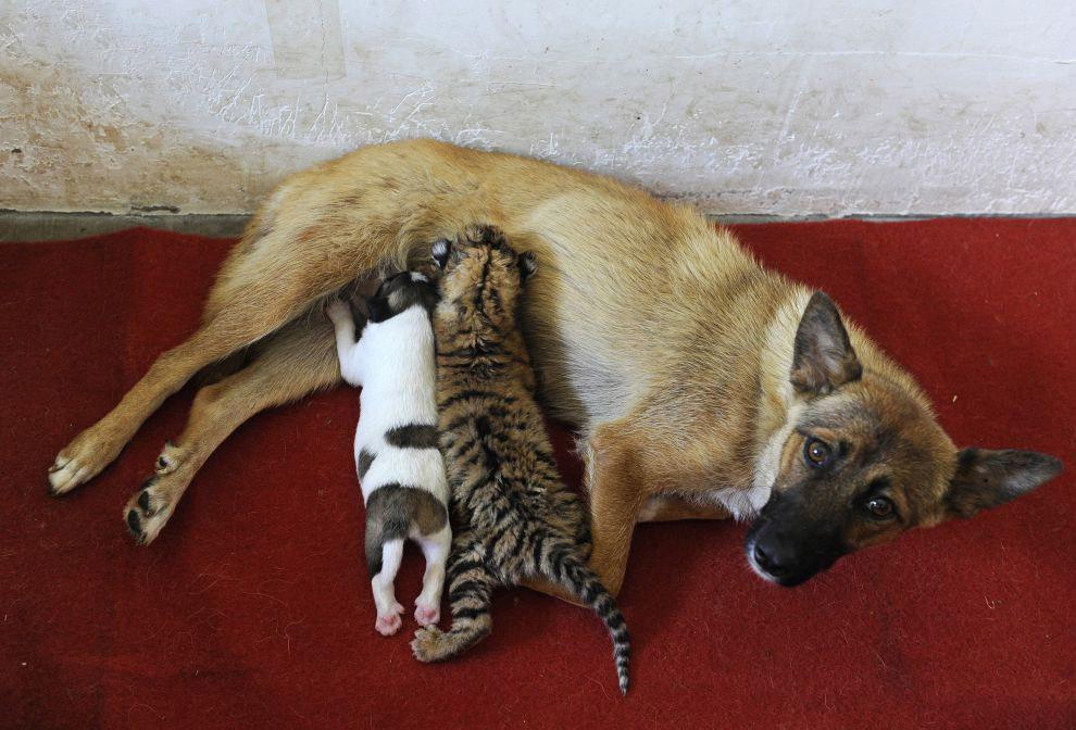 Собака вместе со своим щенком выкармливает тигренка