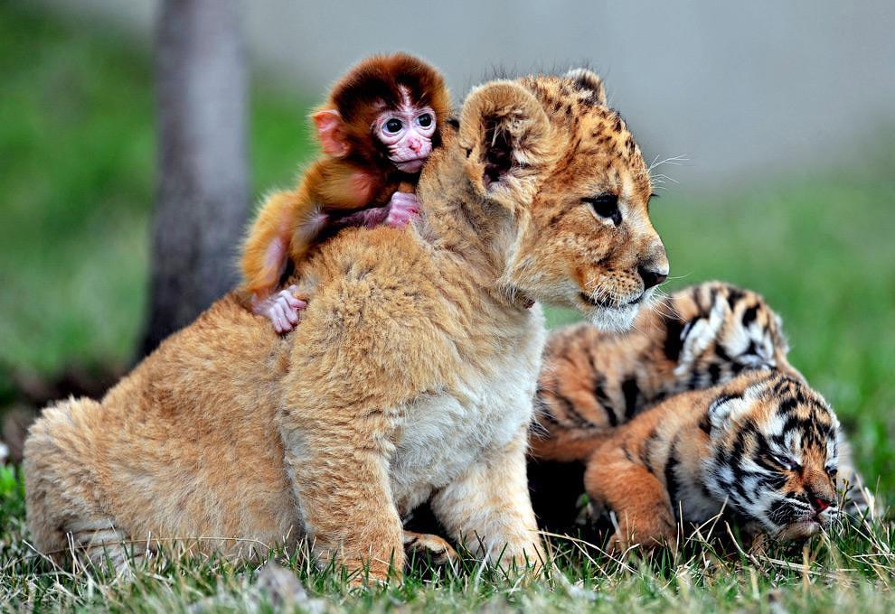 Обезьяна, львенок и тигренок в зоопарке в Шэньяне, Китай