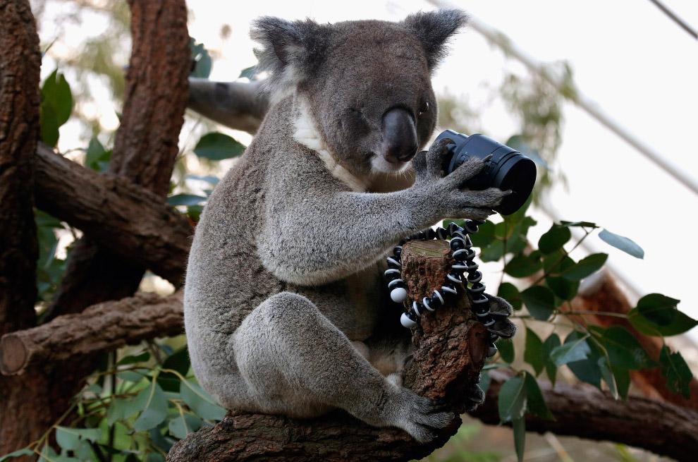 Коала-фотограф, Австралия