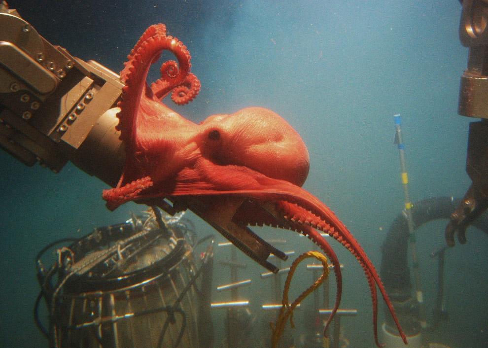 Храбрый осьминог борется с исследовательским оборудованием агентства