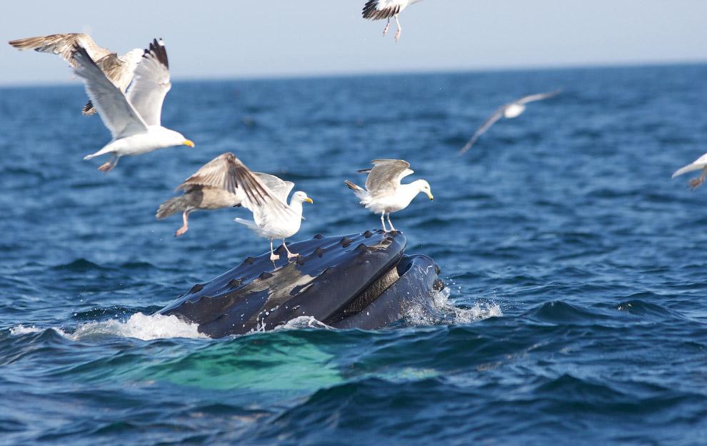 Чайки наверху горбатого кита
