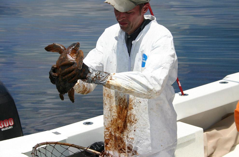 Спасение оливковой черепахи Ридли после разлива нефти
