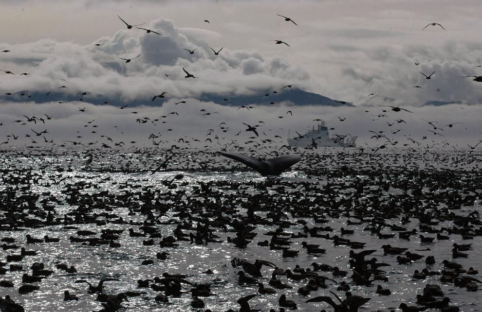 Горбатый кит в окружении птиц