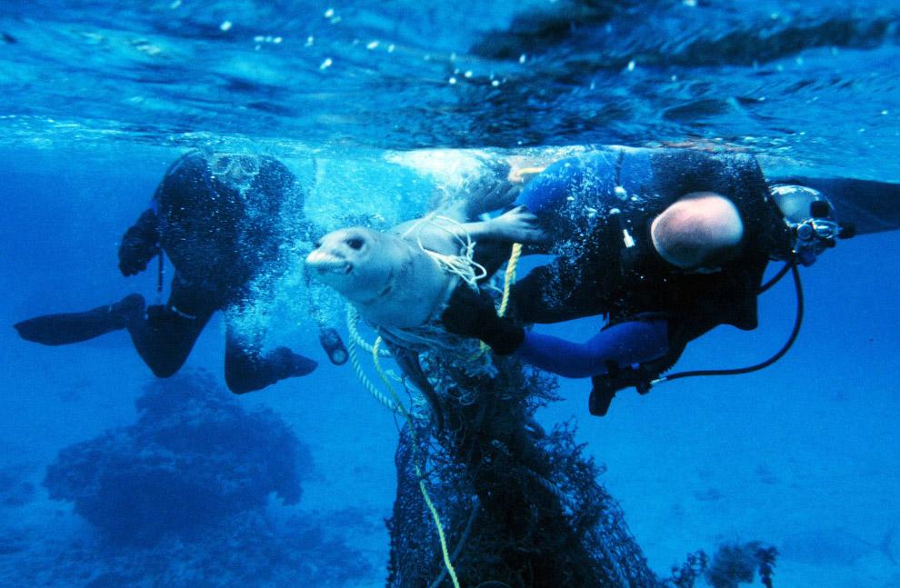 Спасение запутавшегося в сети тюленя