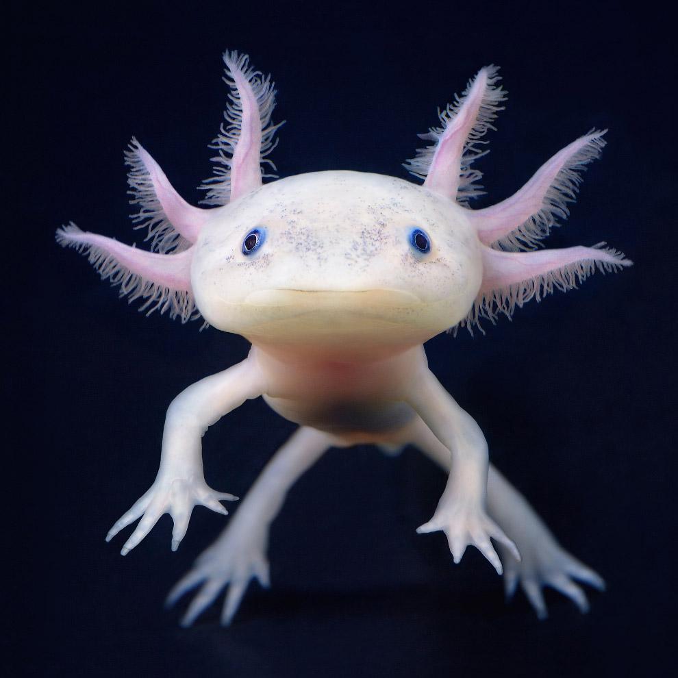 Аксолотль или мексиканская саламандра
