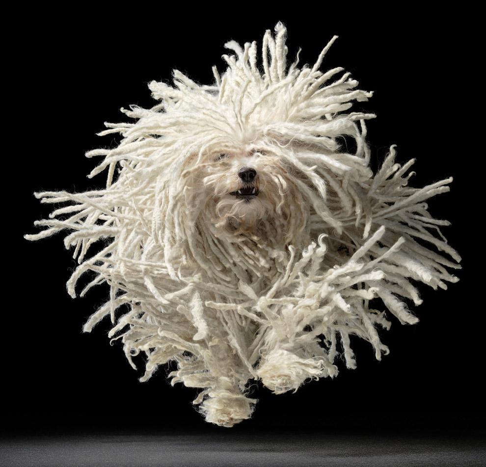 Пули — одна из самых распространённых пастушьих собак Венгри