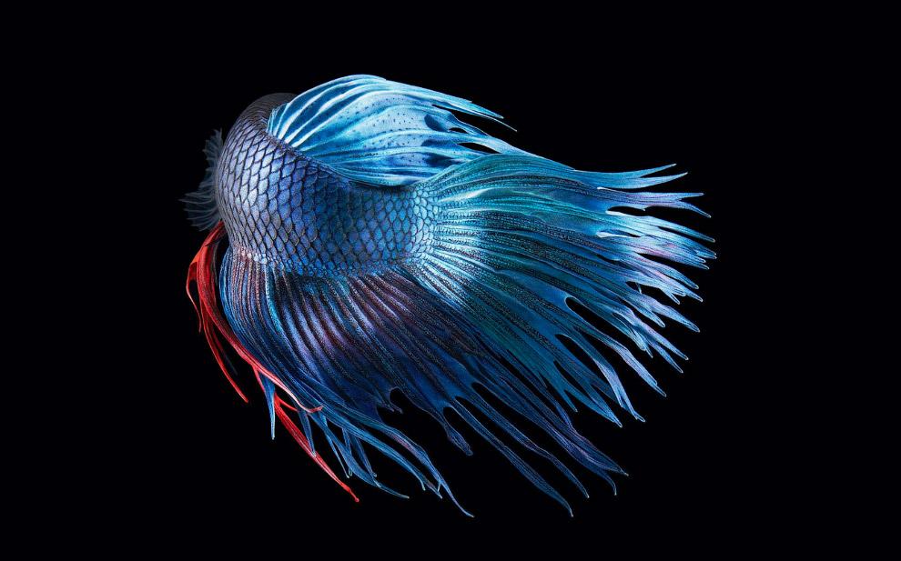 Бойцовая рыбка или сиамский петушок