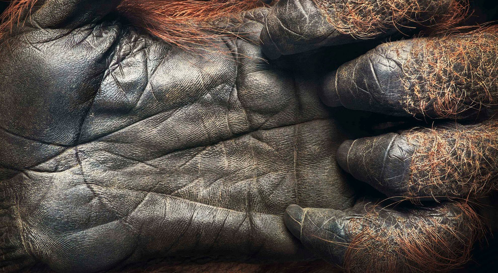 Лапа орангутанга