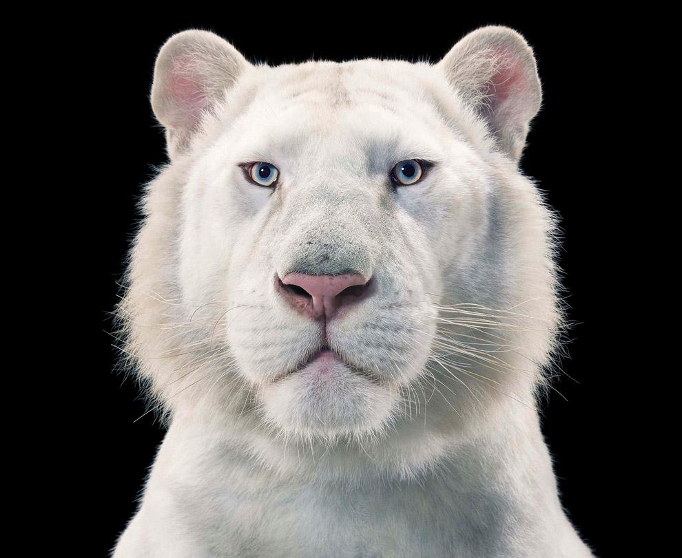 Белый бенгальский тигр
