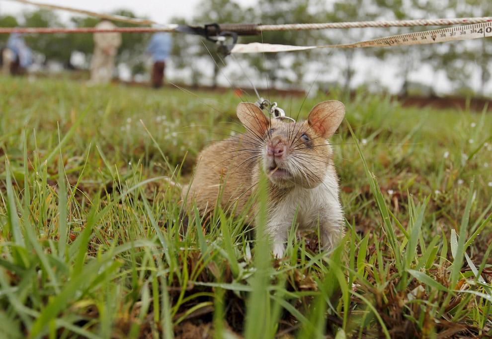 Крысы бегают по тренировочному «минному «полю» не хаотично, а вдоль специальных направляющих