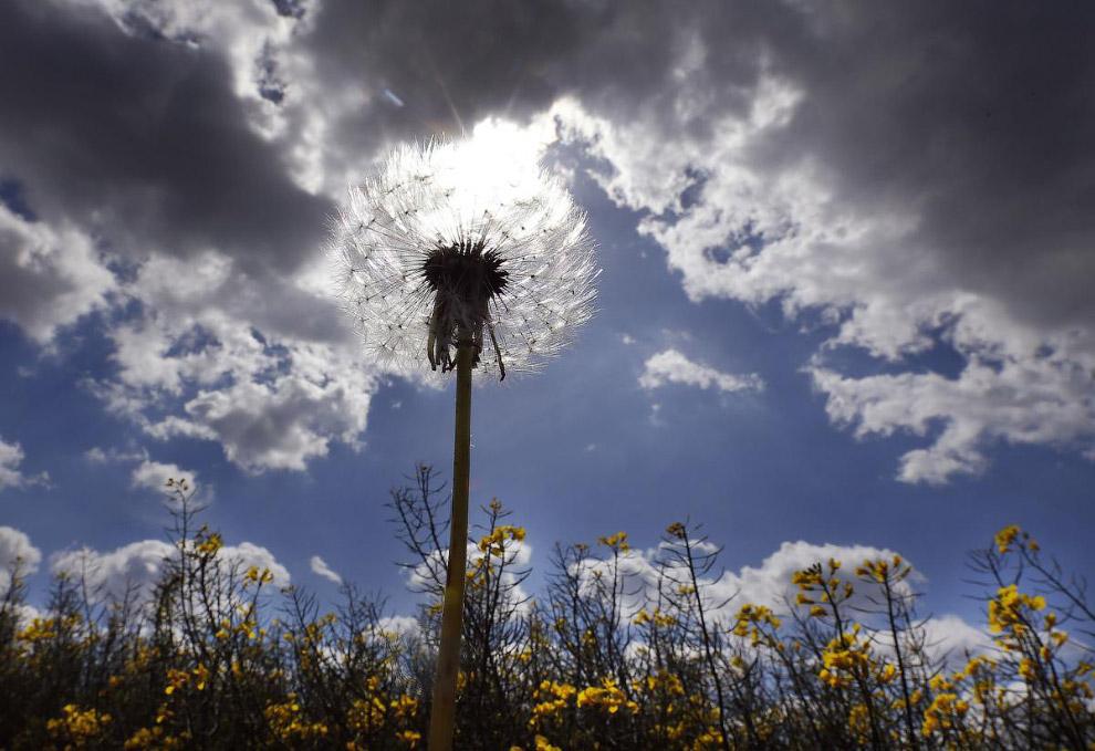 Одуванчик и небо на поле в Дуйсбурге, Германия