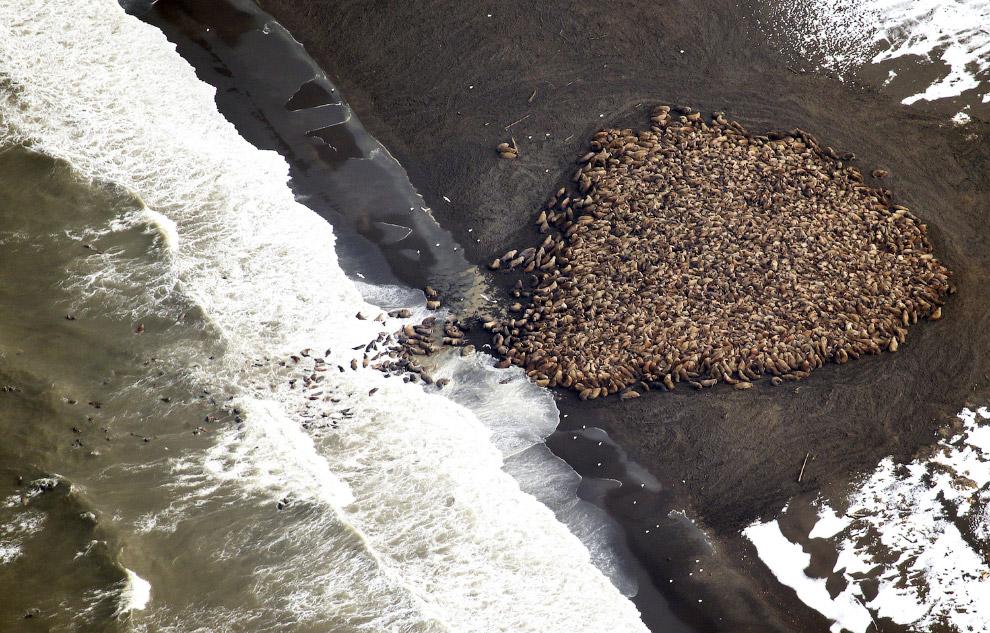 Куча из 35 000 моржей на Аляске