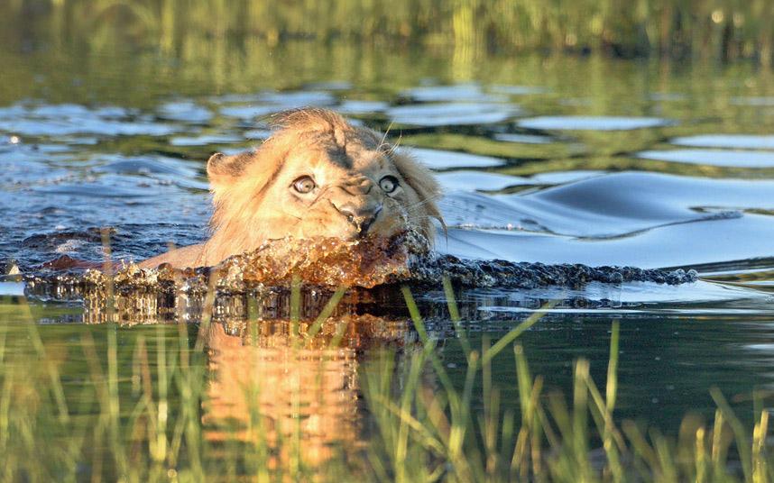Лев, переплывая реку, увидел крокодила и решил резко ускориться