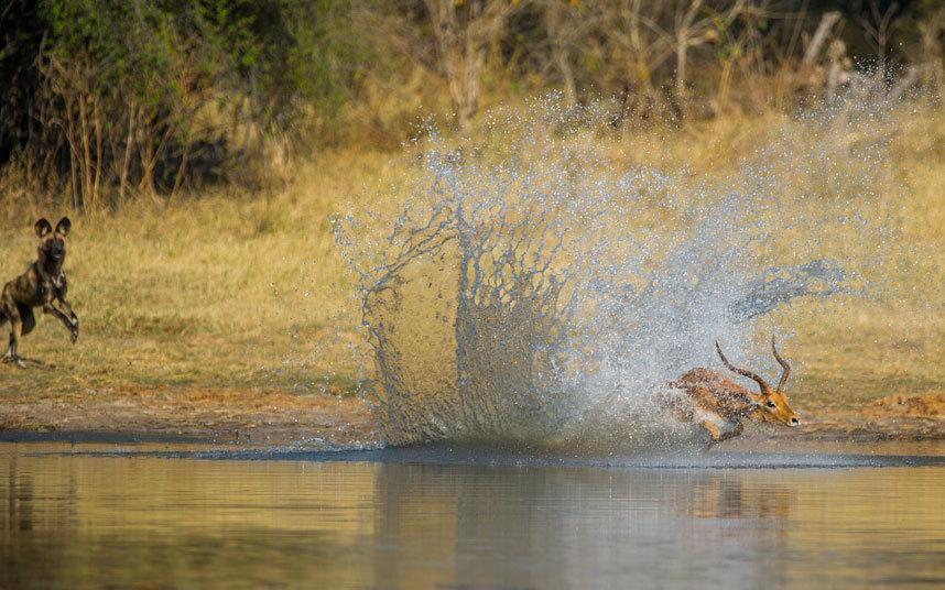 Гиеновая собака гонится за импалой, та бросается в воду