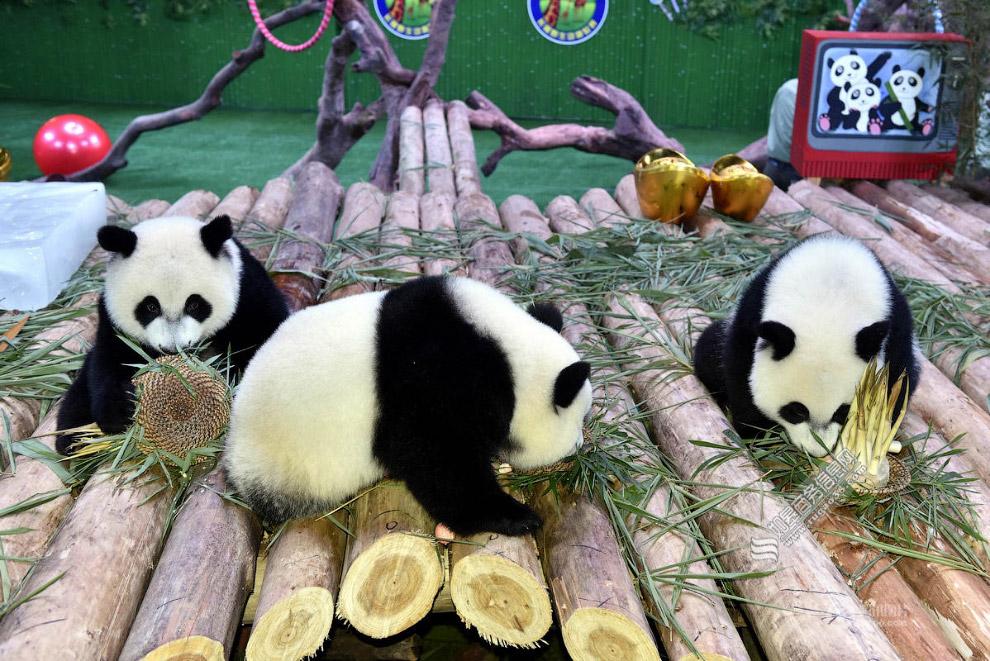 У тройняшек-панд день рождения: им 1 год