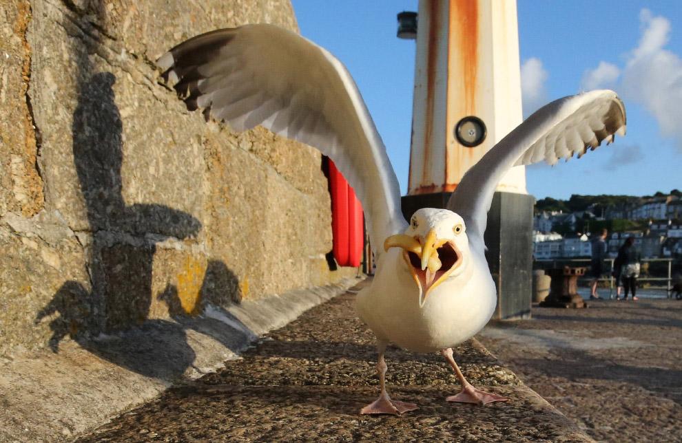 Голодная чайка поглощает пищу