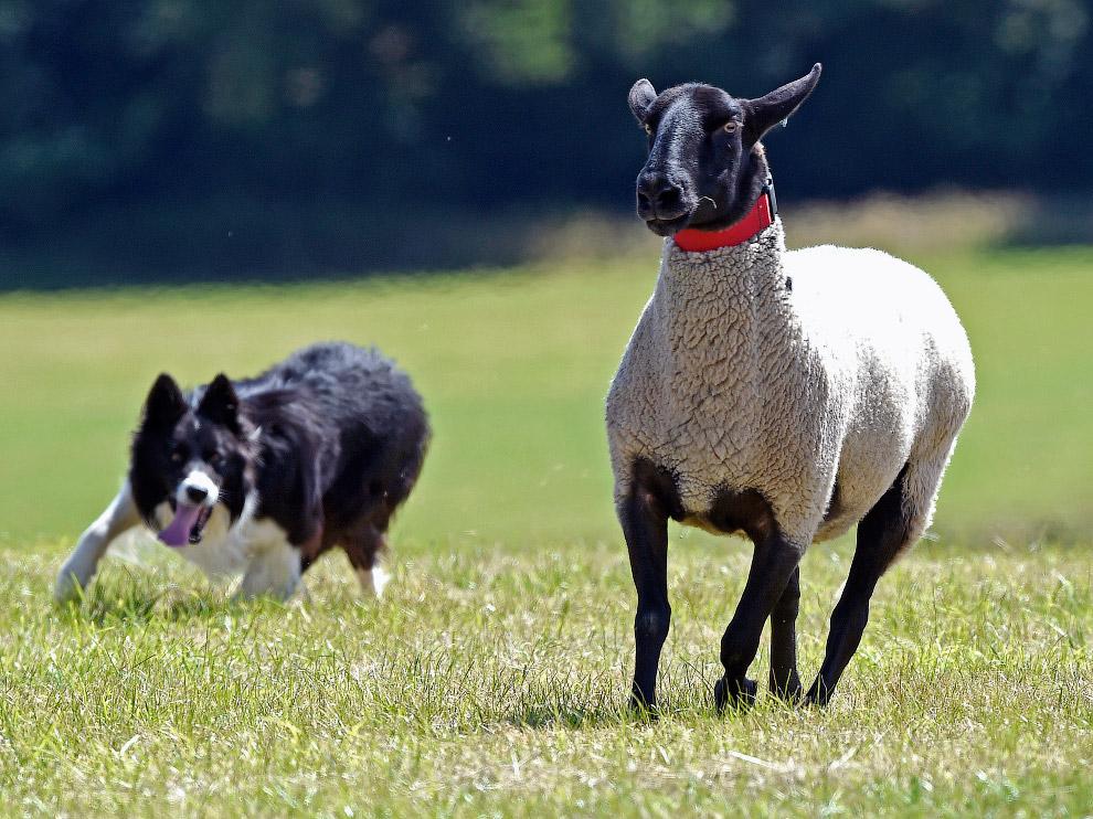 Пастушья собака и овца в Уэльсе