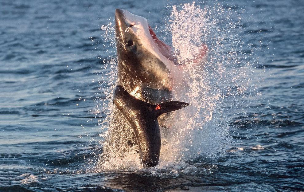 Большая белая акула ловит тюленя в Южной Африке