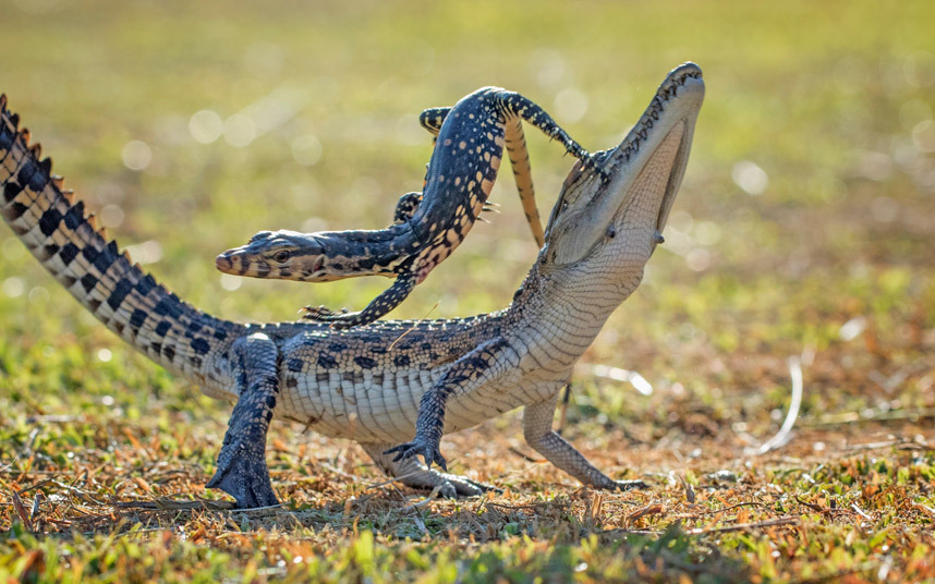 Ящерица перепрыгивает через маленького крокодила