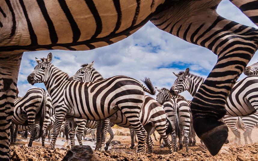 Стадо зебр
