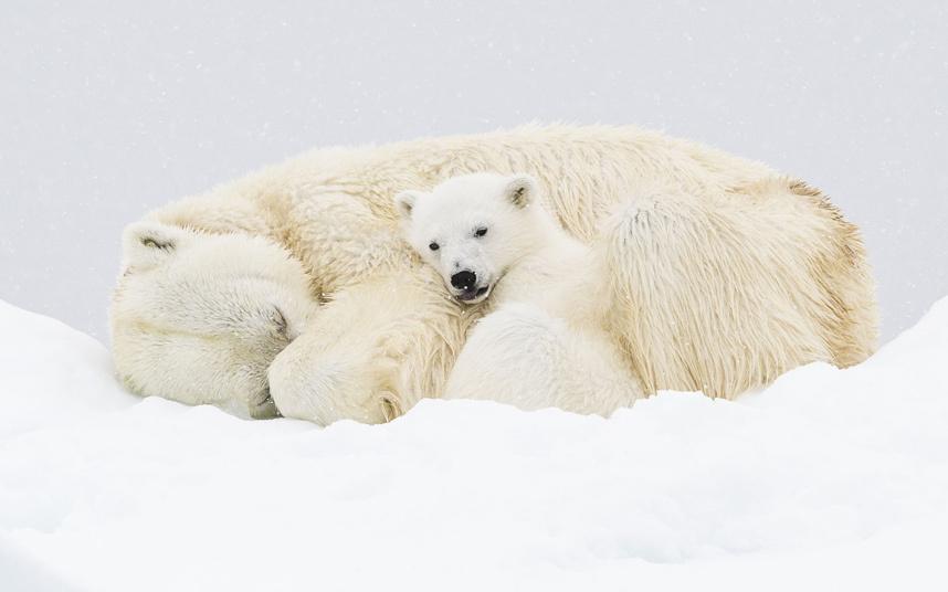 Белые медведи на Шпицбергене, Норвегия