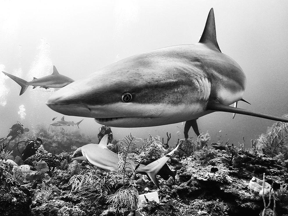 Акулы на Кубе