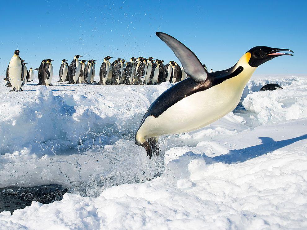 Императорские пингвины в Антарктиде