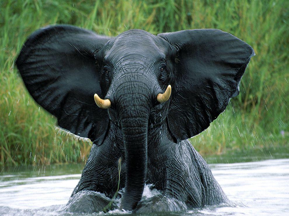 Слон выходит из воды, Африка