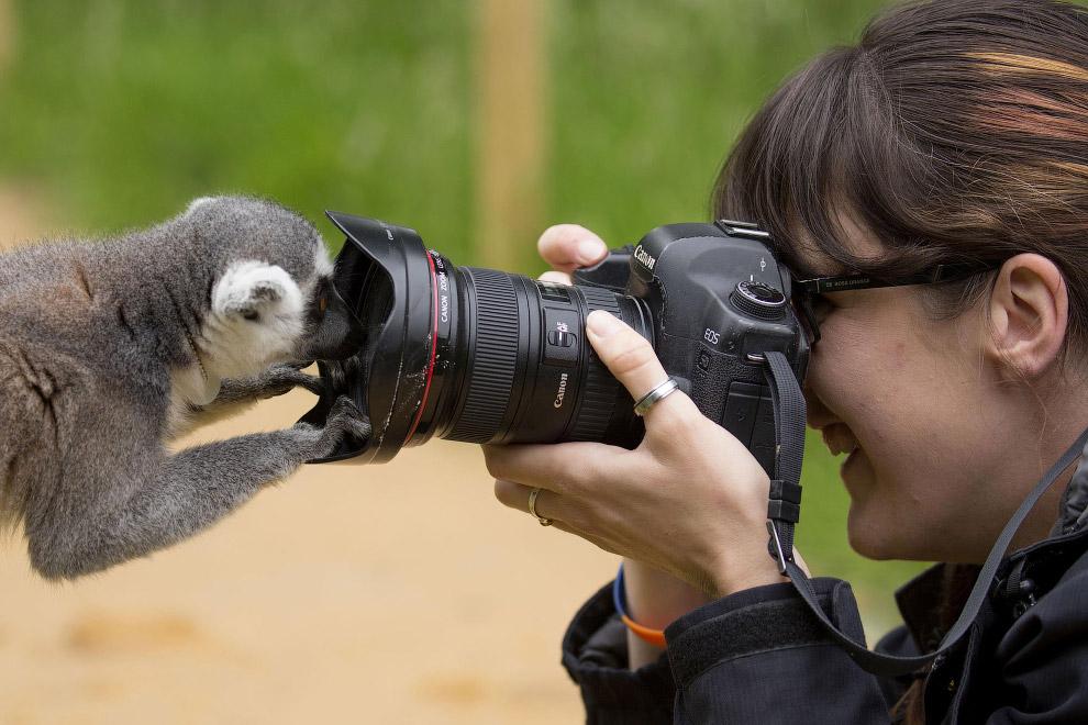 Лемур в зоопарке в Шотландии