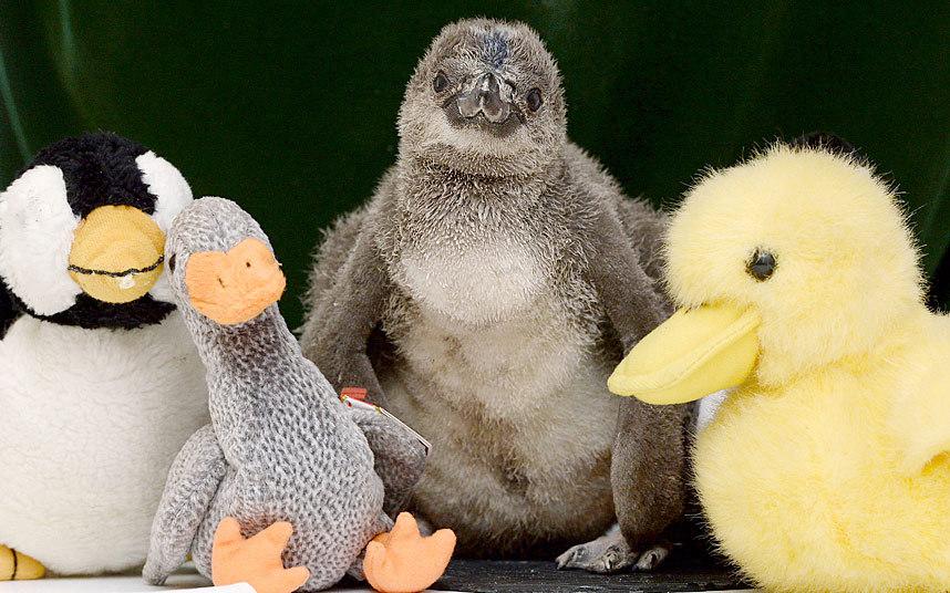 Пингвиненок и игрушки в лондонском зоопарке