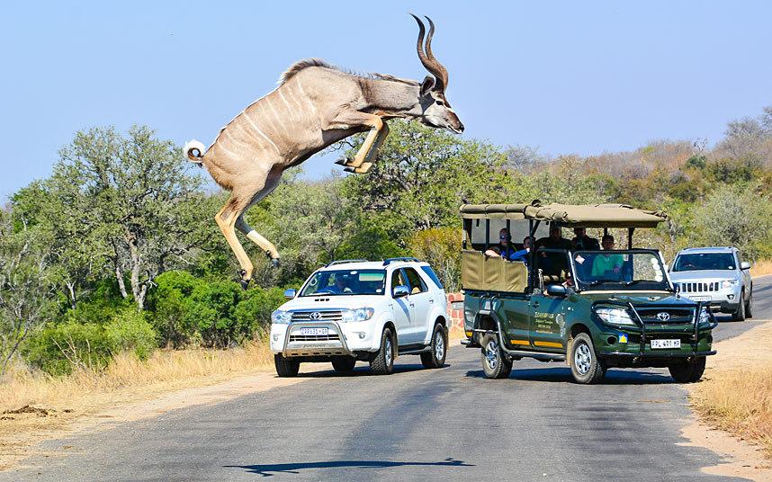 Антилопа куду показывает мастерство в Национальном парке Крюгера, Южная Африка