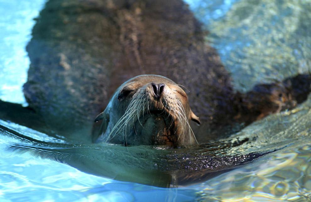 Морской лев в зоопарке в Вуппертале, Германия