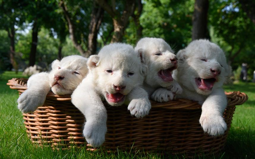 Четыре новорожденных белых львенка в сафари-парке в Белогорске, Крым
