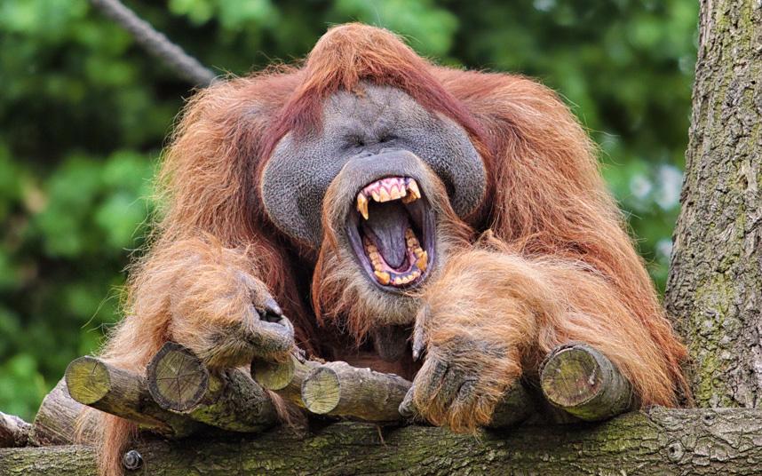 Орангутанг в зоопарке в Германии