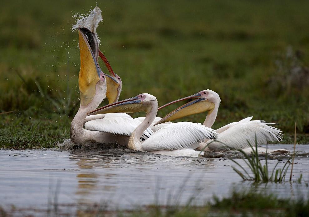 Первый! Пеликаны ловят рыбу на болоте в Кении