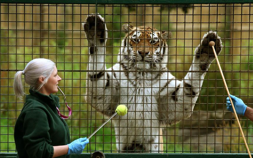 13-летнему амурскому тигру разрабатывают лапы