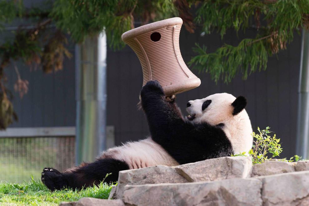 Большая панда в зоопарке в Вашингтоне