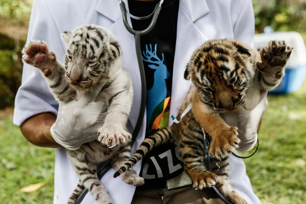 Новорожденные бенгальские тигрята на Бали
