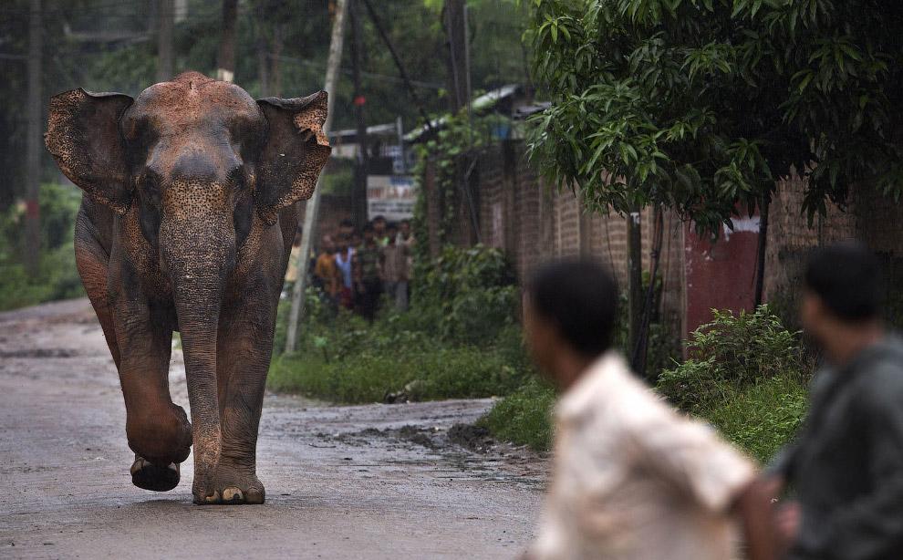 Грозный дикий слон в Индии