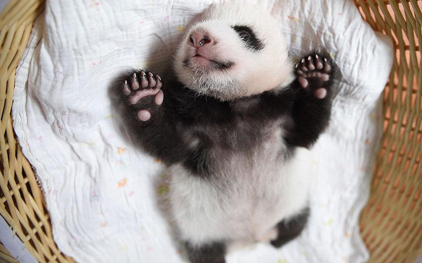 Недавно родившаяся панда в провинции Сычуань, Китай