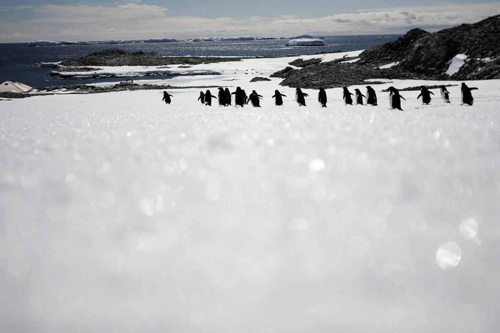 Стройными рядами ходят пингвины Адели на мысе Денисон, залив Содружества, Восточная Антарктида