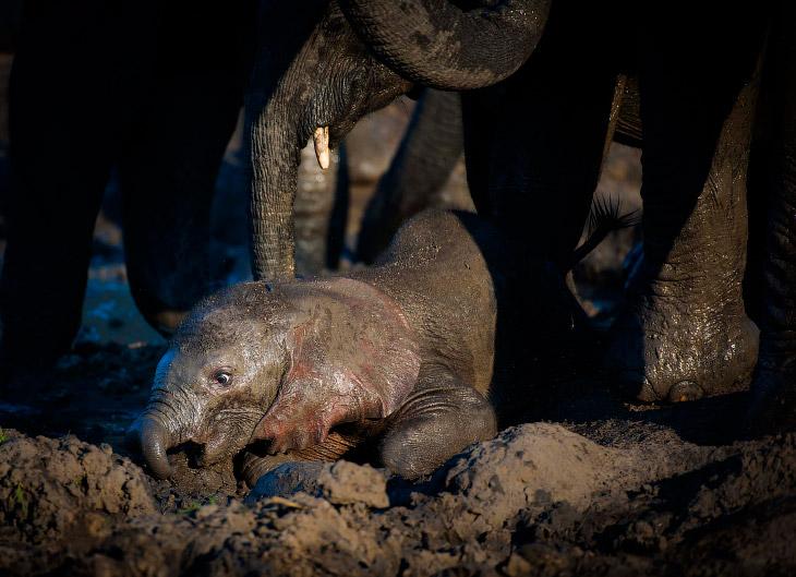 Слоненок застрял в грязи