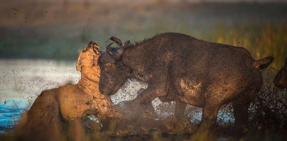 Лев не ожидал от быка такого отпора