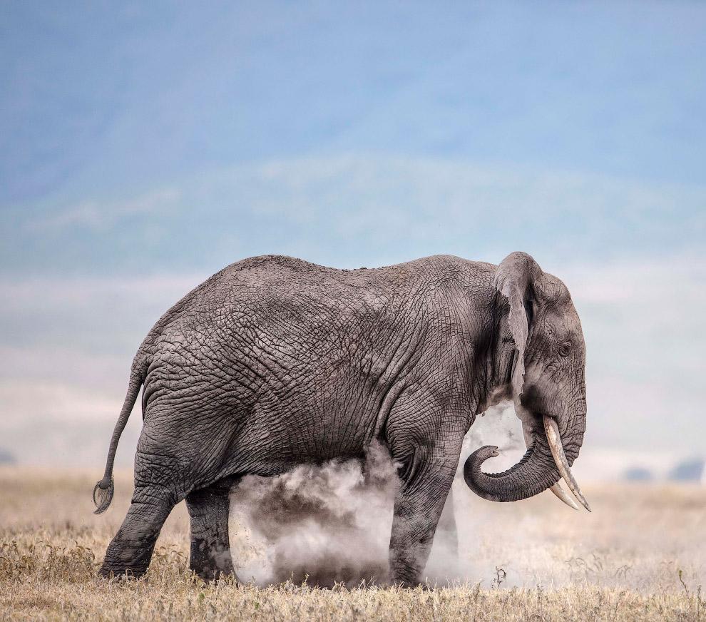 Слон купается в пыли