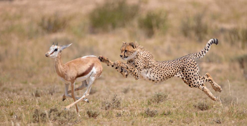 Финальный бросок гепарда